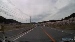 美波羅川の千本桜
