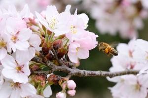 瀬野川公園の桜とミツバチ