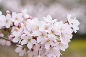 瀬野川公園の桜