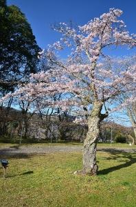 石見台と石見台に咲く桜