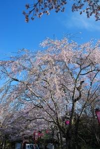 石見台の桜
