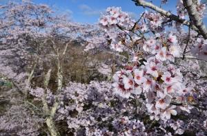 尾関山公園展望台と桜の木
