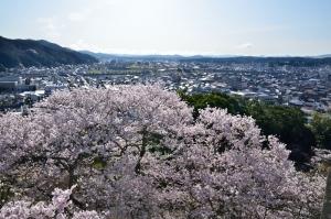 三次の町と桜の木