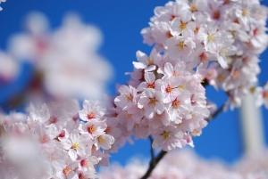 展望台から見た桜の木