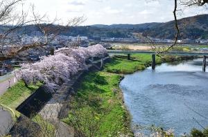因幡台から見た江の川と桜の木