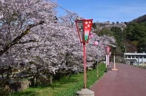 堤防の桜並木