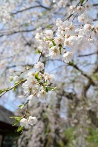 大石良雄手植えの桜