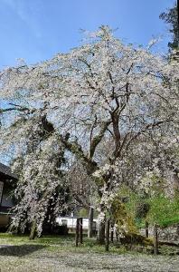大石内蔵助手植えの桜