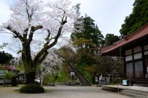 鳳源寺境内の桜