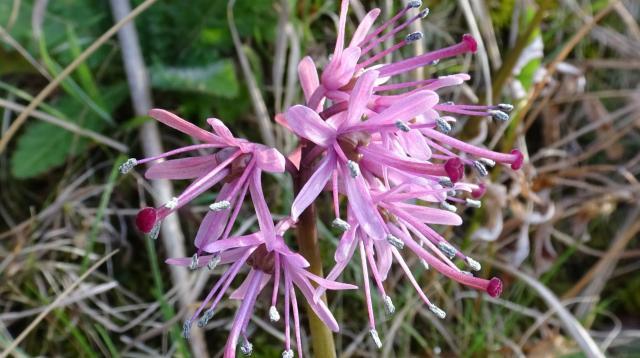 ショウジョウバカマの花