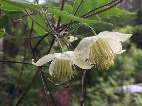 5,3白花ハンショウズルー2