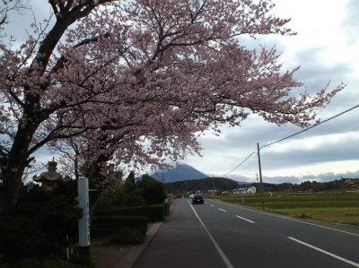 4.3桜と大山