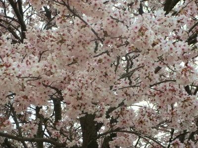 4.3寺の桜が満開