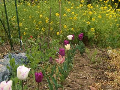4.10チュウリップと菜の花