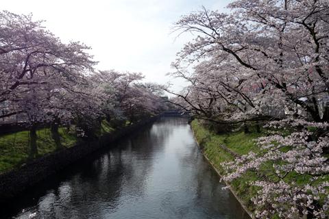 sakura_kirei_16_1.jpg
