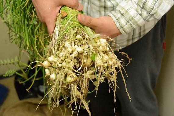 野蒜収穫20160502