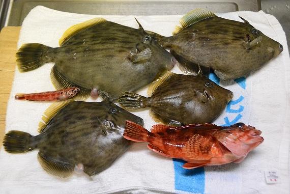 カワハギ釣果20160505