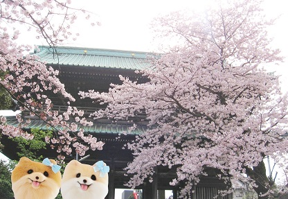 またね 桜