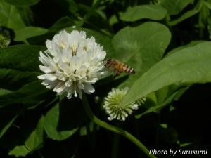 シロツメクサ&ミツバチ