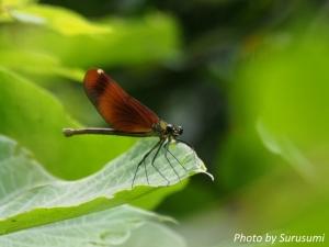 ヒガシカワトンボ(橙色翅型)