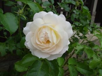 rose(2).jpg