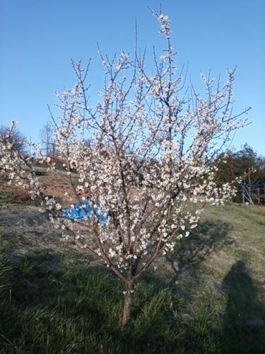 古い梅の木