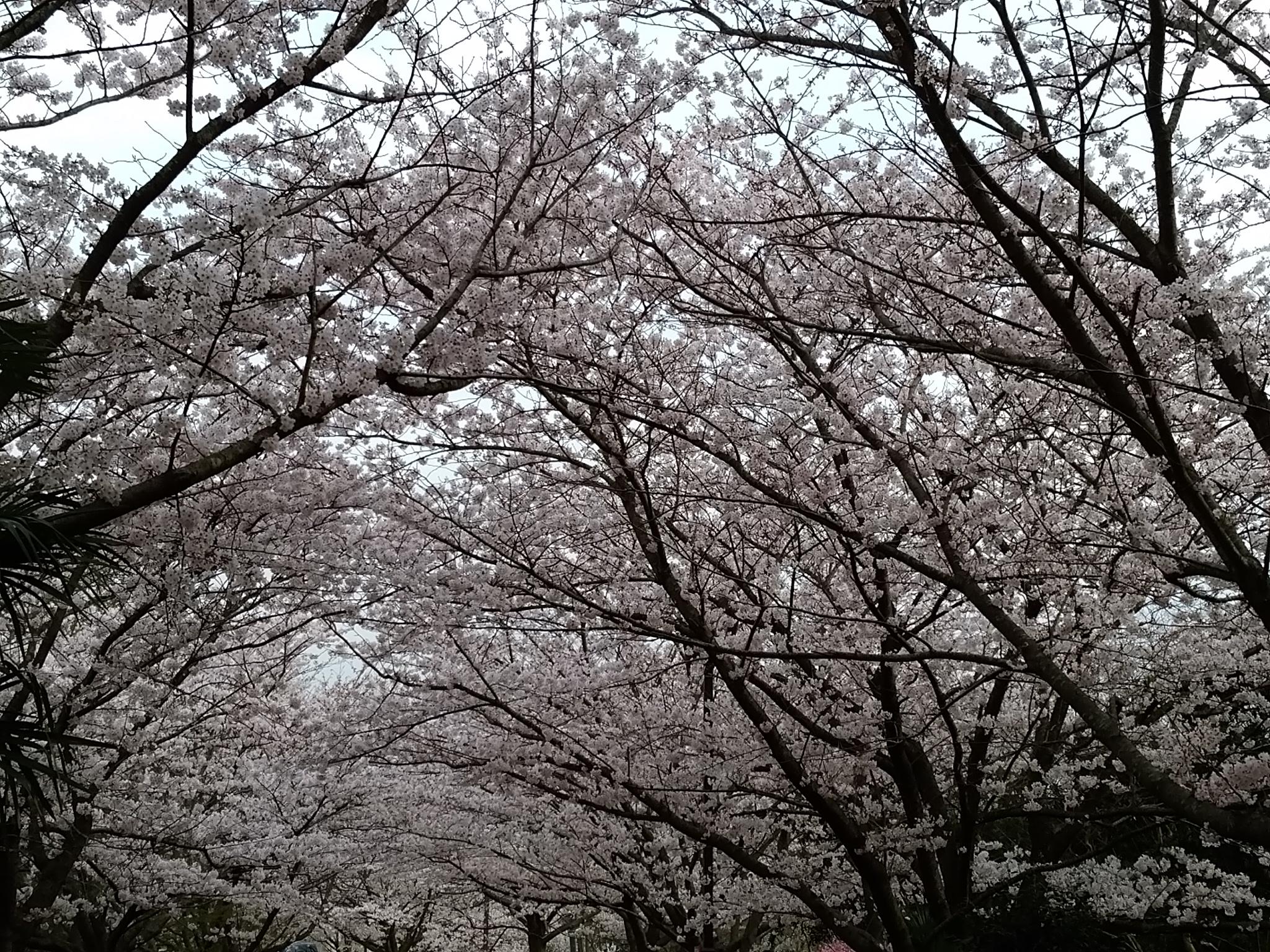 桜20160406