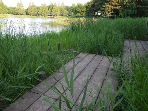松伏の池 (21)