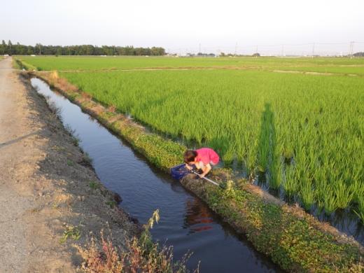 田んぼの用水路 (6)