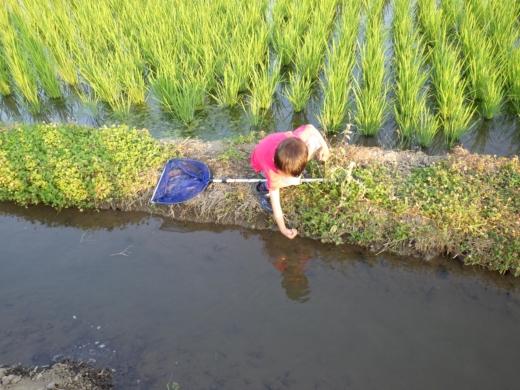 田んぼの用水路 (7)