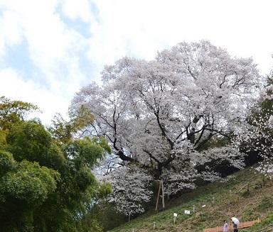 DSC_8375大山桜