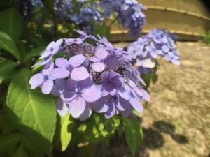 6-12紫陽花03