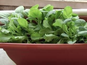 レタス、コマツナ、チンゲンサイの混植