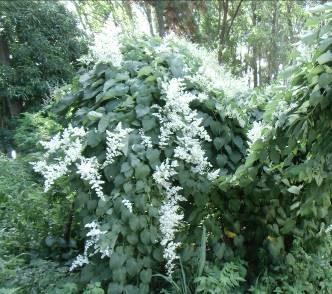 ジャングルの白い花(4)