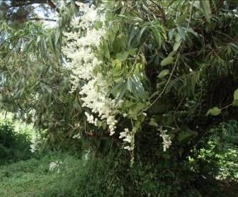 ジャングルの白い花(3)