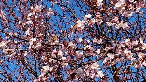 桜 ② (500x281)