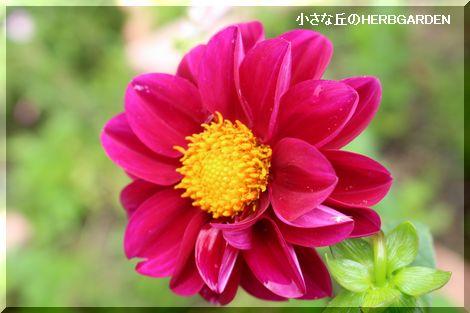 470 赤紫のダリア