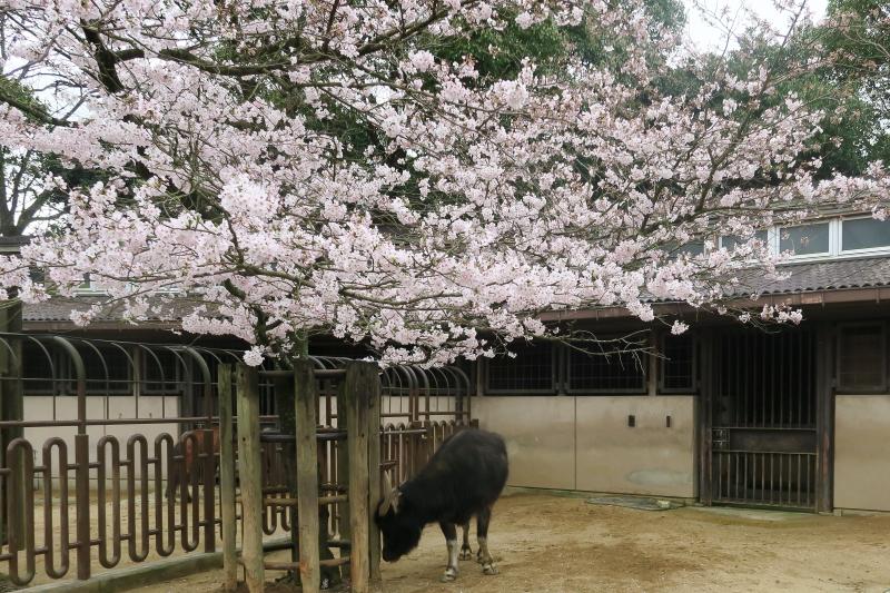 スイギュウの手作り看板と桜