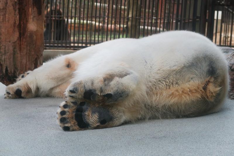 お昼寝のシロクマ・ピース