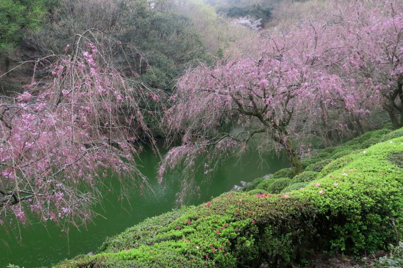 動物園の駐車場から入口ゲートの桜