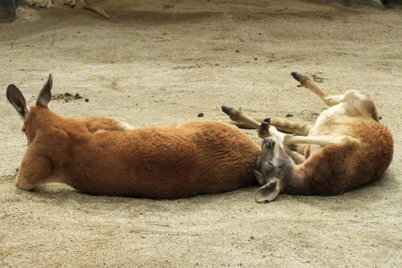 カンガルーさんのお昼寝