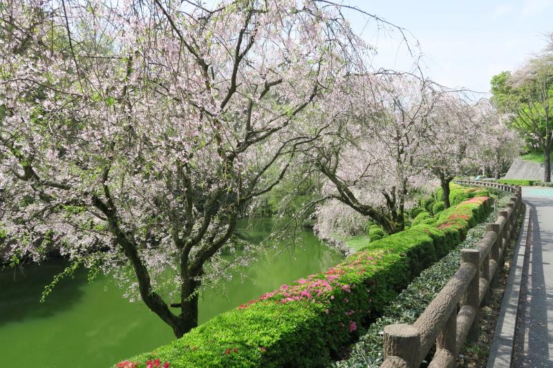 とべ動物園入り口のしだれ桜