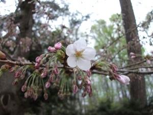 160421桜アップ