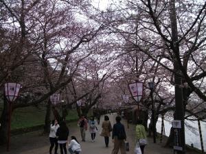 160421桜のトンネル