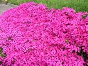 160506芝桜3