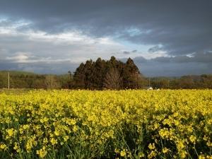 160505菜の花畑