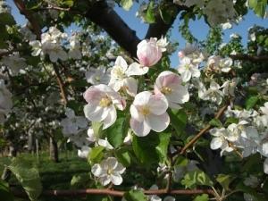 160512りんごの花1