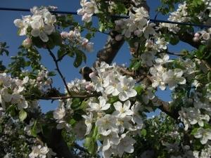 160512りんごの花2