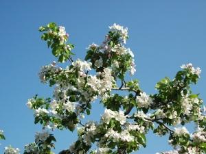160512りんごの花3