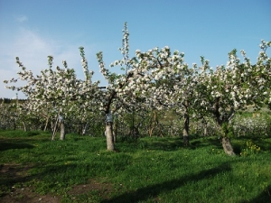 160512りんごの木